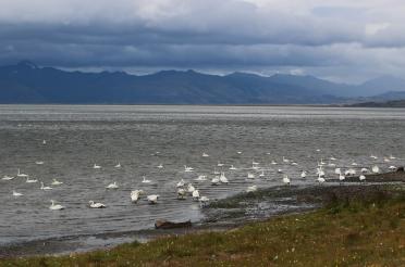 i viaggi della patta-Islanda-cigni
