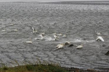 i viaggi della patta-Islanda-cigni2